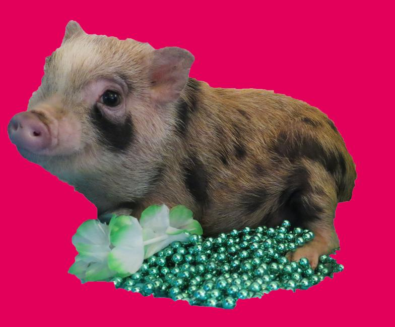 Teacup Pig For Sale In Maine
