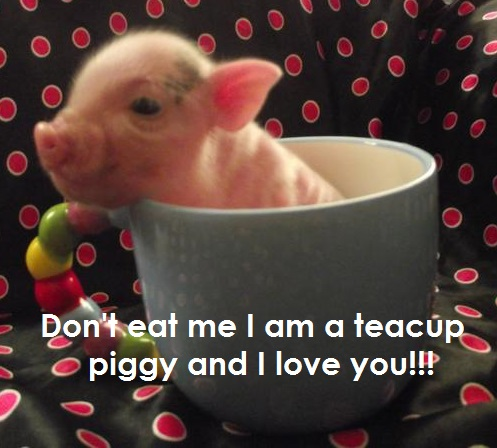 Teacup pig for sale in illinois teacup pigs for sale in - What do miniature pigs eat ...